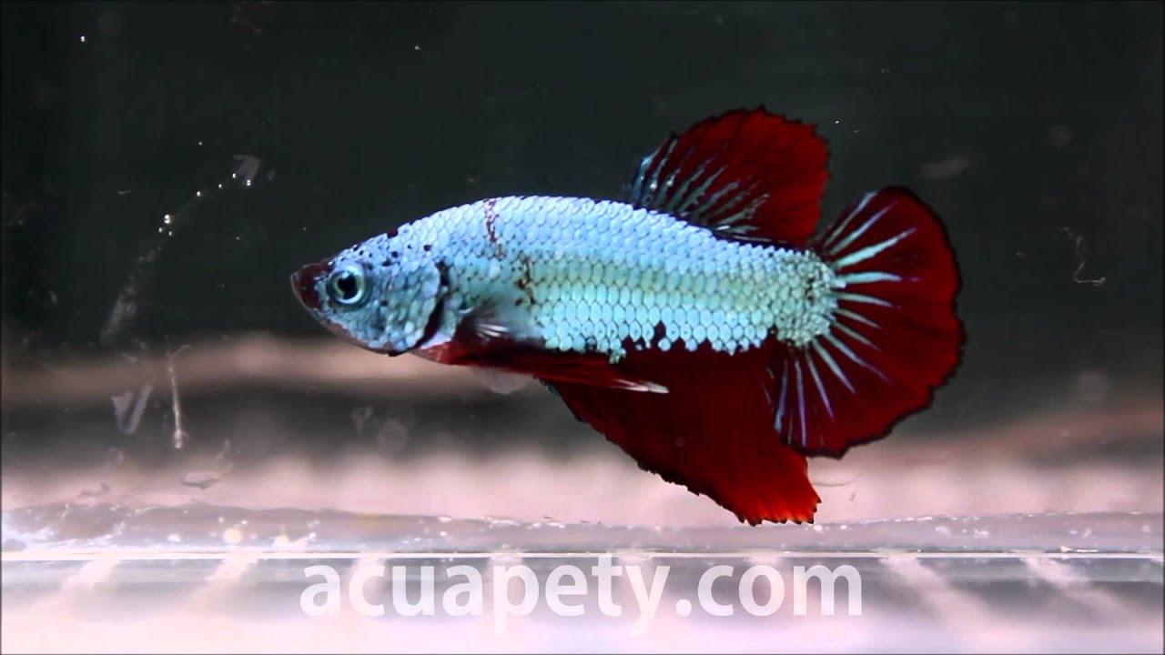 acuariofilia peces ornamentales betta hmpk dragon multicolor 100 pety acuariofilia
