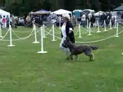 Nash's 1st Time in the Breed Ring
