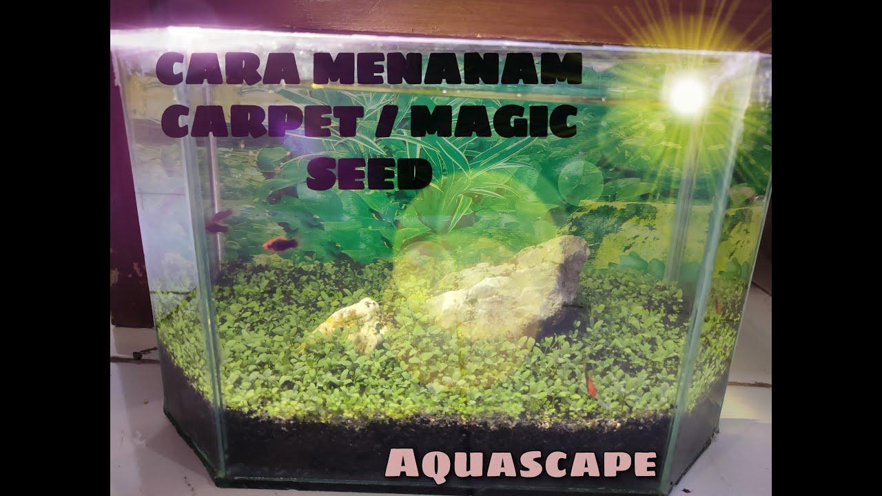 Cara tanam karpet seed/magic seed (rumput aquascape) cepat ...