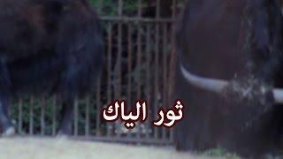حيوانات - ثور الياك