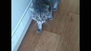 Шотландский вислоухий кот ругается на хозяина.