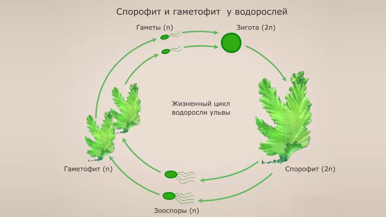 Общие сведения о водорослях