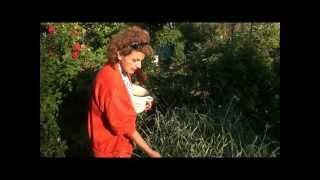 видео Болезни персика. Курчавость листьев.