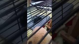 Кошка хочет съесть хомяка