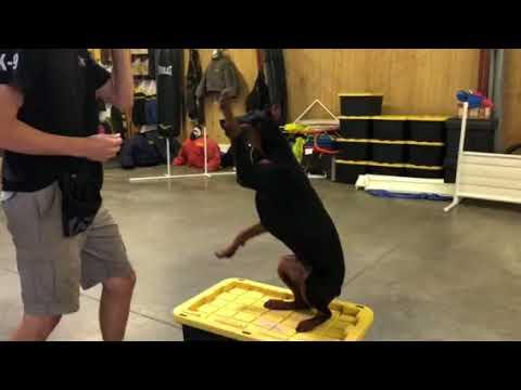 Amazing Super Doberman 'Maya' 7 Mo's Beautiful Obedience Agility BAB Participant