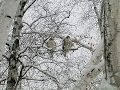 USA struck with Snow Storm Hawk  With Wings Frozen In ICE Cold harsh weather in American