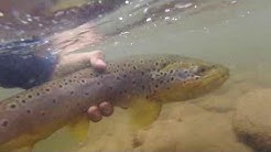 White Mountain Fly Fishing...My first Apache Trout.