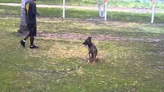 K9 Enforcement Training Rage Female Malinois Obedience