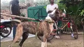 Bully Kutta Beast from the Pakistan | Big  Dogs