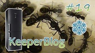 Блог кипера. Выпуск 19. Зачем нужно засовывать муравьёв в холодильник?