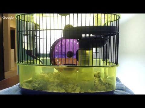 Hamster live webcam