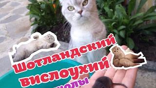 Шотландский вислоухий котенок/Scottish Fold kitten/Приколы видео и фото.