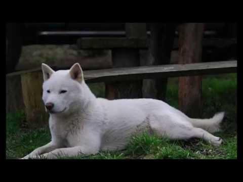 DOG BREEDS RASE LIST - #H-I: HAVANESE DOG,  HOKKAIDO DOG, HARRIER DOG, HOVAWART DOG   DISCOVER