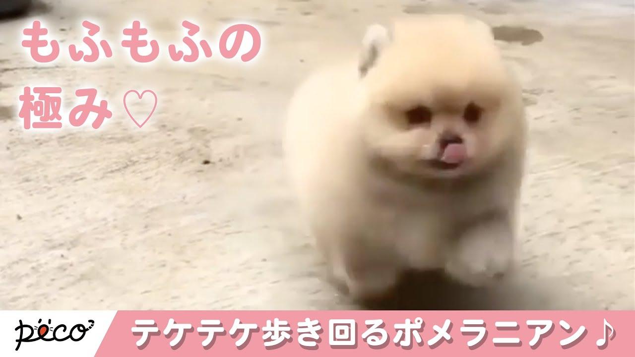 もふもふかわいいポメラニアンがテケテケ歩き回る♪【PECO TV】