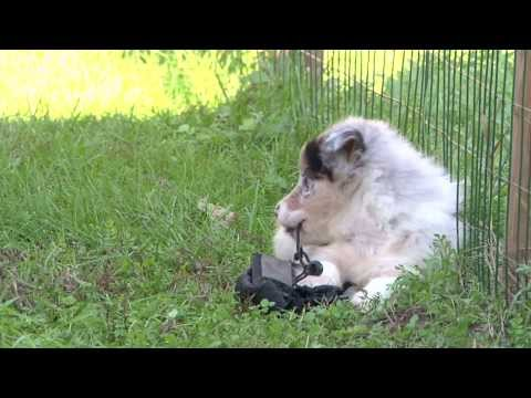 Cuccioli Australian Shepherd - Allevamento Lungo Sentiero