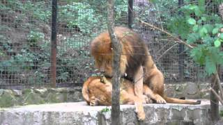 lions sex in Yalta Zoo 2012