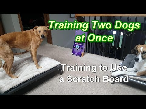 Training 2 dogs at Once - Training to use a Scratch Board