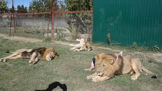 Уроки переворотов и лапоскладывания от львицы ЛЕЙЛЫ !