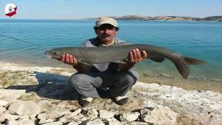 Gambar cover Harika bir Şabut Balığı Avı - Şabut Balıkçısı