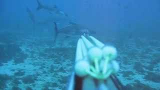 Shooting Cobia Off Sharks