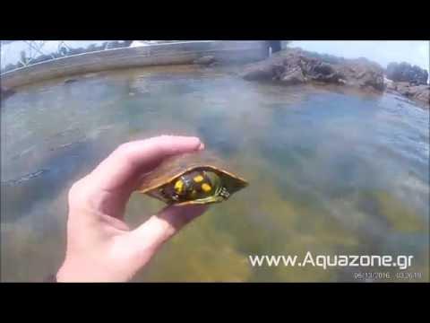 Podocnemis Unifilis at Rio Xingu - www.Aquazone.gr