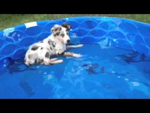 Ace, the 14 week old Australian Shepherd, loving his new baby pool