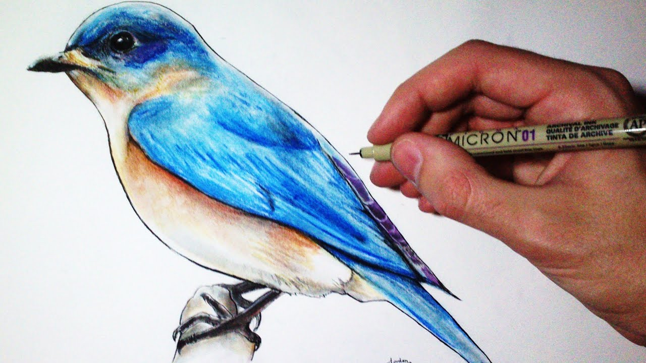 drawing time lapse blue bird youtube