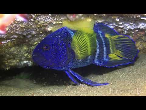 Eastern Blue Devil Fish With Eggs, Paraplesiops Bleekeri, Sydney, Australia