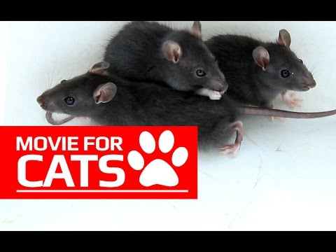 MOVIE FOR CATS - BLACK RATS (ENTERTAINMENT VIDEOS FOR CATS TO WATCH)
