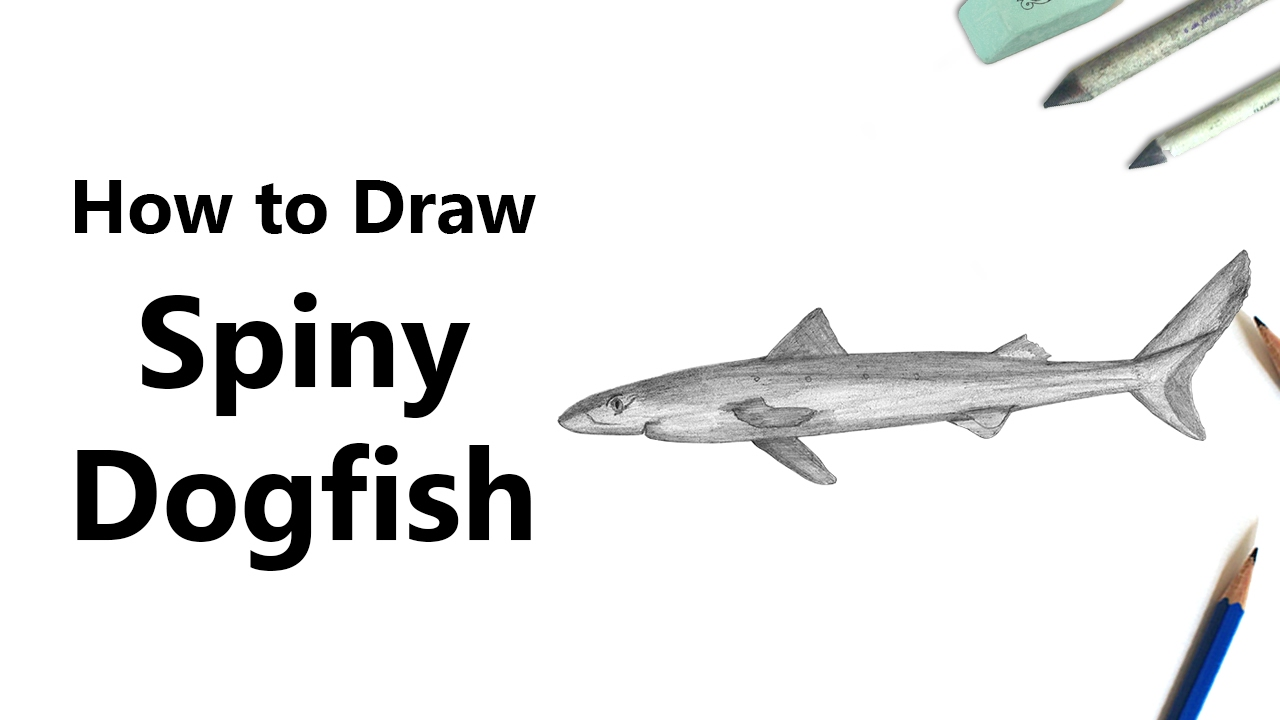 Uncategorized How To Draw A Tiger Shark how to draw a spiny dogfish with pencils time lapse youtube lapse