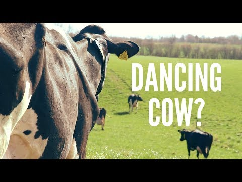Denmark's Dancing Cows Day - Happy cows running and dancing (Nørager, Denmark)