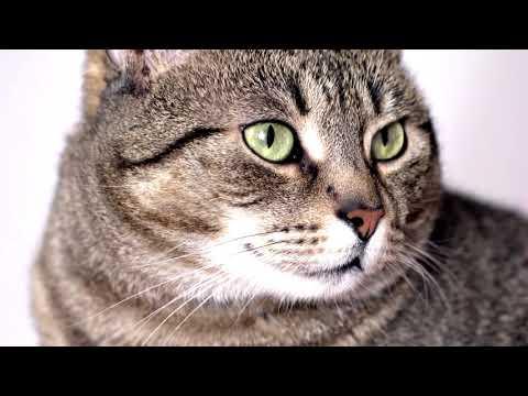 Европейская #короткошерстная #кошка - описание породы
