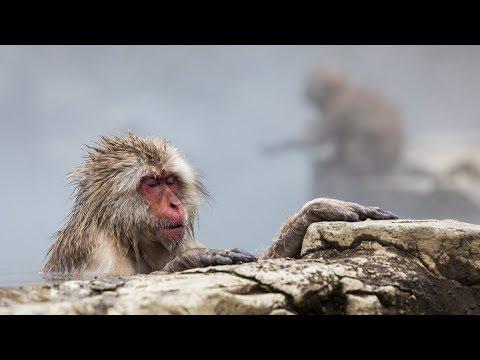 Wildlife Photography Tips   Japan's Snow Monkeys