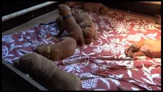 Puppies From Joy Van De Paterhoek And Wade Wolf Z Orisku