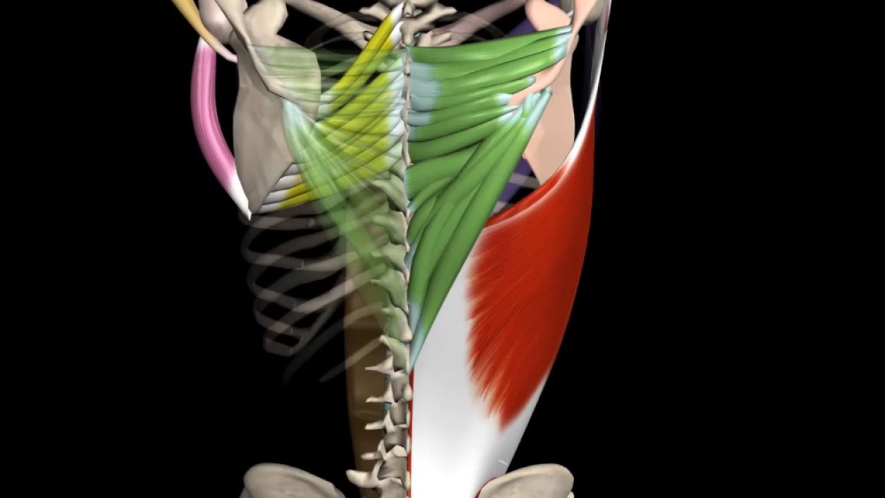 Teres Major Muscle Actions Origin Insertion Youtube