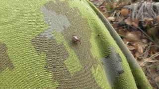 Иксодовый клещ. Попытка нападения в начале ноября. ( Ixodidae )