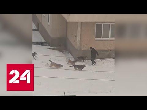 Стая собак едва не загнала человека под колеса движущеся машины - Россия 24