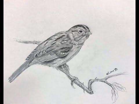 鉛筆畫小鳥-麻雀Drawing Pencil Sparrow