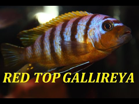 RED TOP GALLIREYA ZEBRA | LAKE MALAWI MBUNA AFRICAN CICHLID
