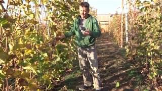 Когда проводить обрезку виноградника. Хисамутдинов АФ, 2019