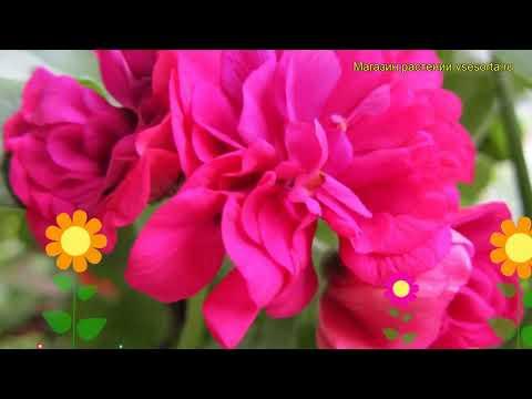 Пеларгония амурская, плющелистная Тоскана малайка. Обзор pelargonium x hortorum Toscana malaika