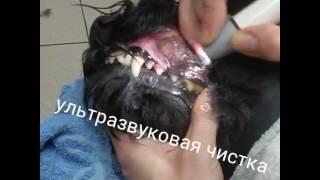 Чистка зубов ультразвуком цвергшнауцеру(Без наркоза и жесткой фиксации., 2016-12-19T19:25:15.000Z)