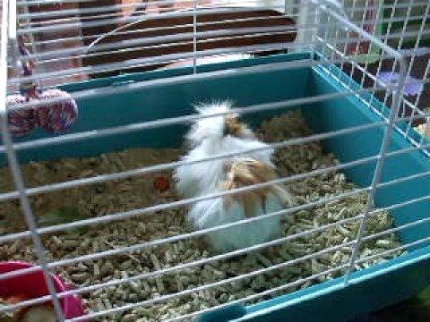 Muffin la mia cavia guinea pig porcellino d 39 india che for Porcellino india