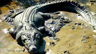 Гребнистый крокодил/Estuarine crocodile