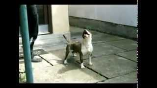 Bull Terrier Gea-junior Champion Of Serbia
