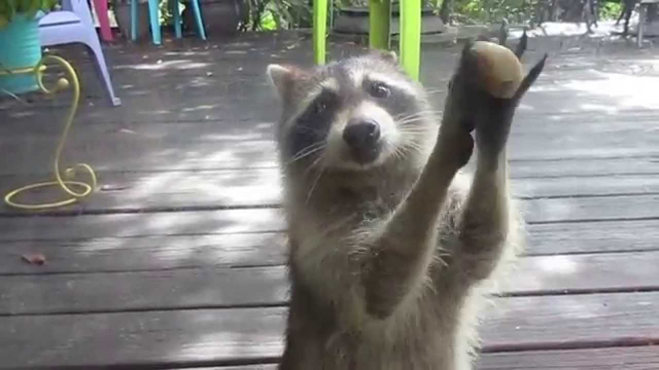 Rocksy The Raccoon Knocks At The Door For Food Lol Youtube