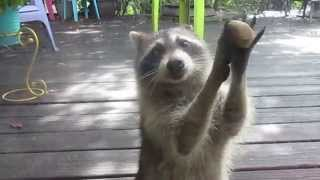Rocksy the Raccoon knocks at the door for food!  LOL thumbnail