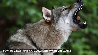 TOP 10 CELE MAI PERICULOASE RASE DE CAINI