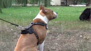 Leather Amstaff Dog Harness For Attack And Agitation Training