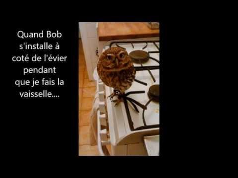 chouette cheveche au bain, little owl having a bath